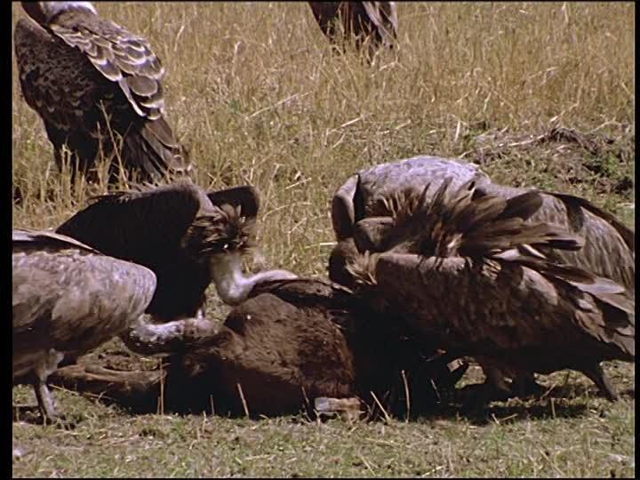 582679599-vautour-de-ruppel-charognard-cadavre-animal-mort.jpg.ce8ada5bdcc06e8c14c903e4a67f0c67.jpg